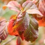 Parrotia leaf detail fall