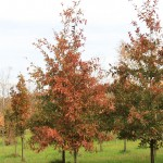 Shingle Oak fall color