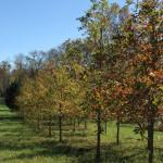 Shumard Oak 2