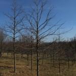 Shumard oak pic 3