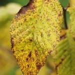 Sweet birch leaf detail