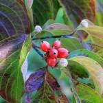 White Dogwood berry detail w flower buds
