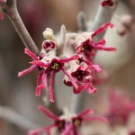 Amethyst Witch hazel