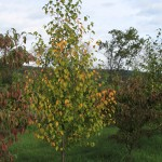 Sweet Birch pic 3