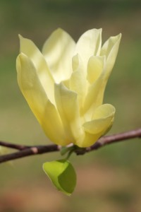 Butterfly magnolia